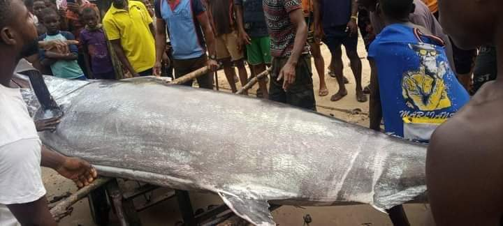 Fisherman Catches a Sword Fish at OYOROKOTO earlier today